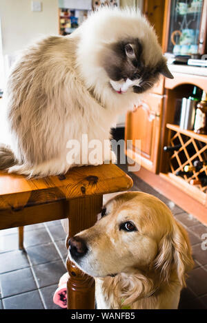 Interaction between a young male Ragdoll cat sitting on a table top and an older golden retriever dog standing on the tiled floor below. Engaging expr - Stock Photo