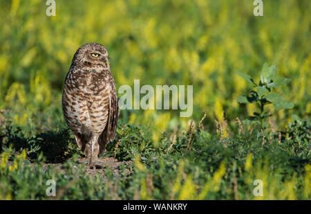 Burrowing Owls (Athene cunicularia), at den, Sage Creek wilderness, Badlands National Park, S. Dakota, USA, by Bruce Montagne/Dembinsky Photo Assoc - Stock Photo