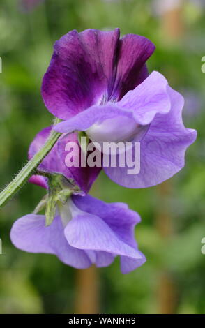 Lathyrus odoratus 'North Shore' a highly scented bicoloured sweet pea climbing in a mid summer garden. UK - Stock Photo