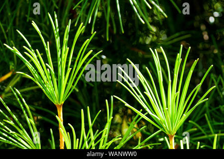 Japanese Umbrella Pine - Sciadopitys verticillata, La Bambouseraie - Bamboo park, Prafrance, Anduze, Gard, France - Stock Photo