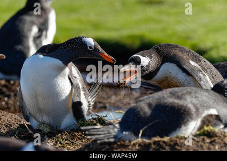 Zwei Eselspinguine (Pygoscelis papua), brütend, Falkland Inseln. Two gentoo penguins, breeding, Falkland Islands. - Stock Photo
