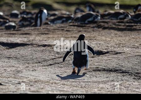 Eselspinguin (Pygoscelis papua) Rückansicht, Falkland Inseln. Gentoo penguin walking back to his colony, Falkland Islands - Stock Photo