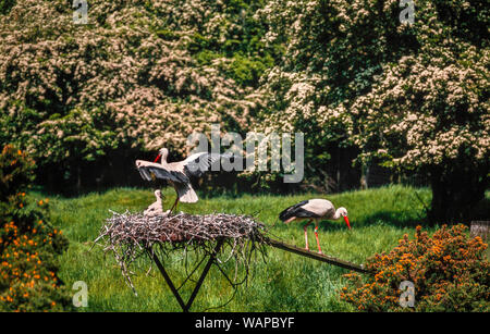 European white stork pair with young at nest, Ciconia ciconia - Stock Photo