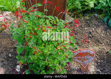 Ananas Salbei, Honigmelonensalbei, Salvia Elegans - Stock Photo