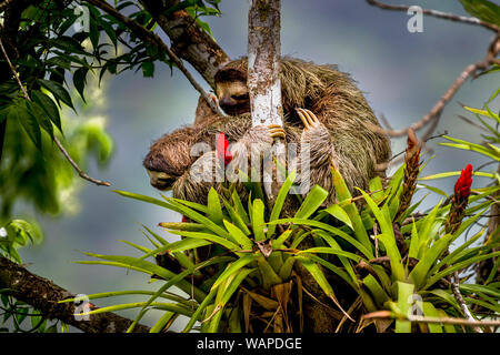 Brown-throated sloth (Bradypus variegatus) ia three-toed sloth with its young climbing up a tree image taken in the rain forest of Panama