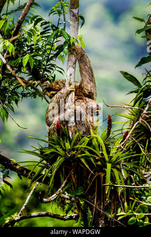 Brown-throated sloth (Bradypus variegatus) ia three-toed sloth with its young climbing up a tree image taken in the rain forest of Panama - Stock Photo