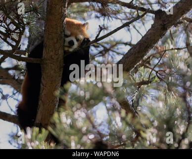 Cute Red Panda Ailurus fulgens Resting Up High in a Tree - Stock Photo