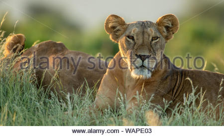 lion in african national park - Stock Photo