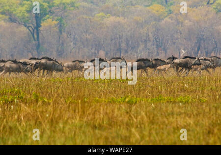 Black wildebeest or white-tailed gnu (Connochaetes gnou) running in Busanga Plains. Kafue National Park. Zambia - Stock Photo