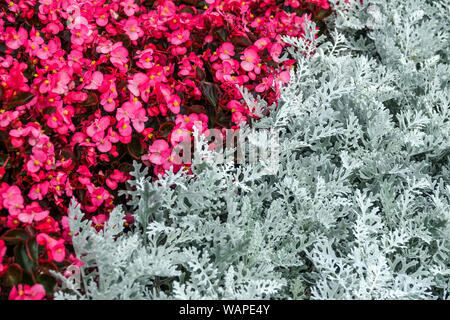 Wax begonia, Dusty Miller Artemisia stelleriana 'Silver Brocade', contrast plants in flower bed - Stock Photo