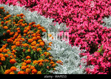 Tagetes marigolds, Wax begonia, Dusty Miller Artemisia stelleriana 'Silver Brocade', contrast plants in flower bed - Stock Photo