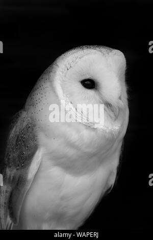 Black and white photo of a barn owl (tyto alba) with a black background - Stock Photo