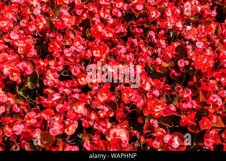 Red Wax begonia, background with many flowers - Stock Photo