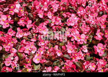Pink Wax begonia, background with many flowers - Stock Photo