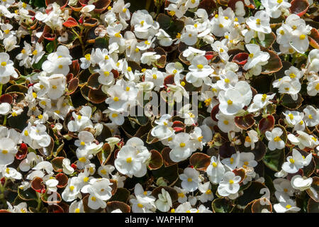 White Wax begonia, background with many flowers - Stock Photo