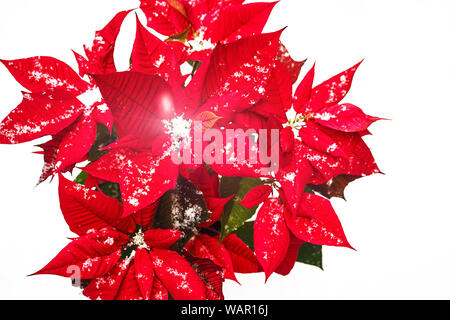 Christmas Poinsettia flower with red petals and falling snowflakes on white snow background. - Stock Photo