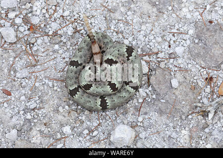 Green Rock Rattlesnake or Banded Rock Rattlesnake (Crotalus lepidus molossus), Chiricahua National Monument, Arizona - Stock Photo