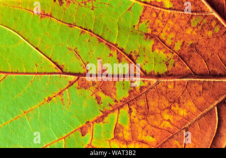 Close-up detail of aging maple leaf - Stock Photo