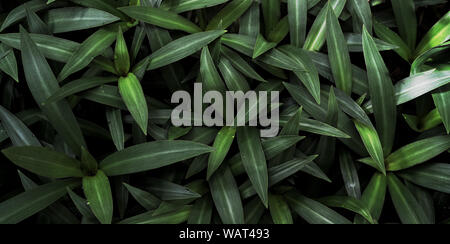 Beautiful natural oyster plant background of tropical green leaves Stock Photo