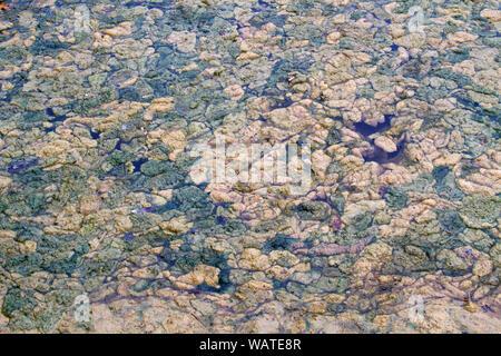 Dense covering of rotting algae on a pond - Stock Photo