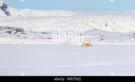 Polar bear walks against a backdrop of snowy mountains, on the fast ice in Yoldiabukta, a bay in Nordfjorden, Svalbard, a Norwegian archipelago betwee - Stock Photo