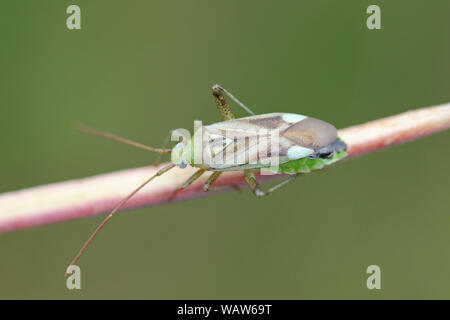 Lucerne Bug Adelphocoris lineolatus - Stock Photo