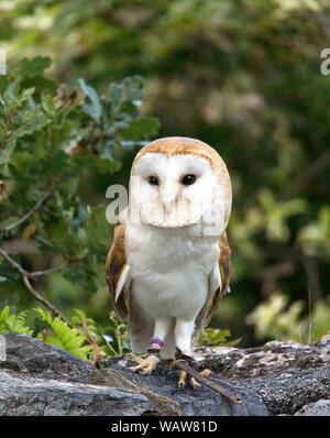 Barn Owl (Tyto alba).Adult bird in daytime.Southwest France. - Stock Photo