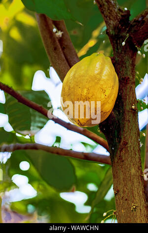 Cocoa in nature, the fruit of a cacao tree ripens on a tree with green leaves Stock Photo