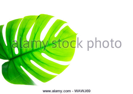 Natural green tropical exotic plant monstera leaf in backlight isolated on white background. - Stock Photo