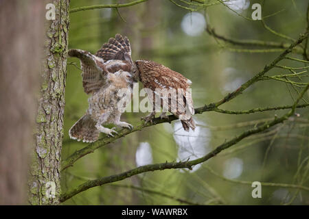 Tawny Owl, Strix aluco feeding chick owlet on a branch in a wood - Stock Photo