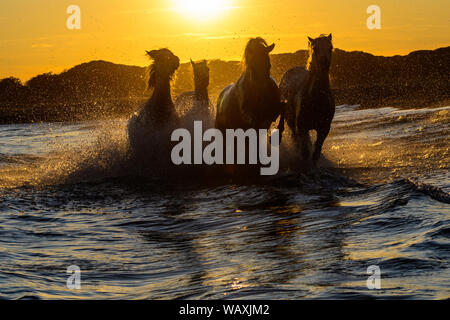 White Camargue horses running on the beach in the seawater... - Stock Photo