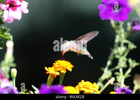A delightful little Ruby-throated Hummingbird hovers over a bright yellow marigold while sipping nectar - Stock Photo