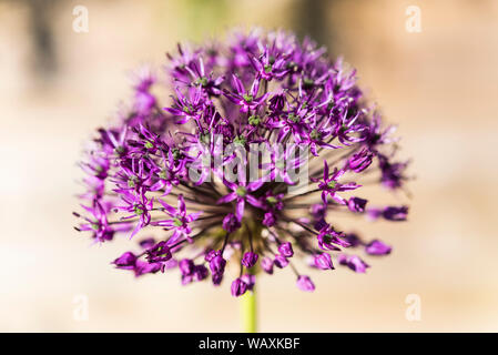 ornamental onion flower in close up - Stock Photo