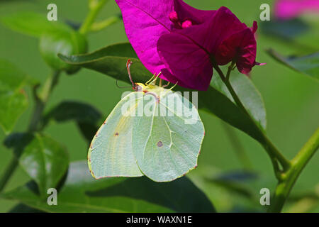 Male Cleopatra or brimstone butterfly Latin gonepteryx cleopatra or gonepteryx rhamni from pieridae group on bougainvillea flower in Italy - Stock Photo