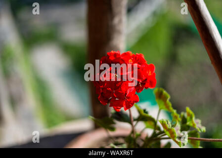 Red peony flower isolated on blurred background -