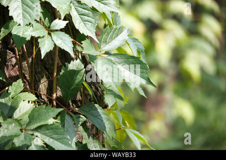 Close up of wild grapes encircles an old tree trunk in a pine forest, selective focus - Stock Photo