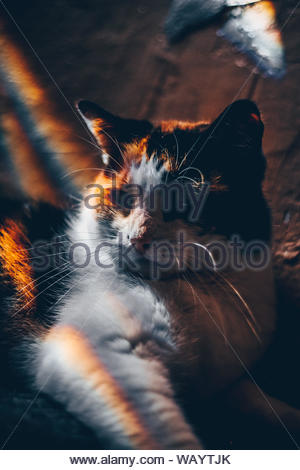 long-fur white and brown cat - Stock Photo