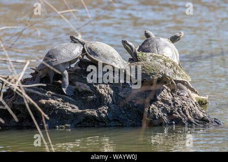 Murray River Turtles basking on log - Stock Photo