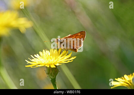 Orange skipper butterfly possibly small Essex or lulworth skipper Latin name thymelicus sylvestris, lineola or acteon from the hesperiidae family - Stock Photo