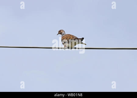Turtle dove Latin name streptopelia turtur adult very close to not a collared dove or mourning dove in Italy vulnerable status due to hunting in Malta - Stock Photo