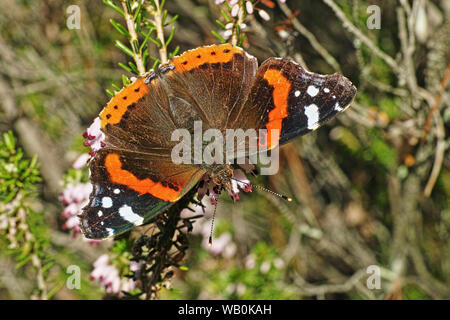 specimen of red admiral butterfy - Stock Photo
