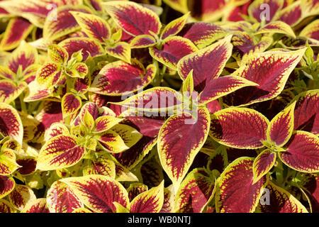 Close-up of burgundy/yellow leaves of solenostemon Scutellarioides Henna, Coleus Henna - Stock Photo