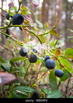 Finnish blueberry berries harvest time, North Ostrobothnia, Hailuoto island, Finland - Stock Photo