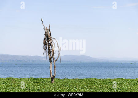Partially submerged dead tree in water hyacinth due to rising water levels, lake Naivasha, Kenya, East Africa - Stock Photo