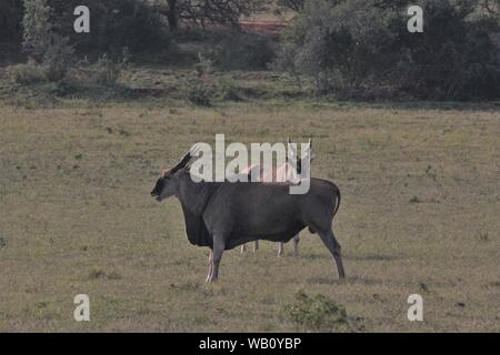 Cape Elands (Taurotragus oryx) in the grassland of Addo Elephant National Park, South Africa - Stock Photo