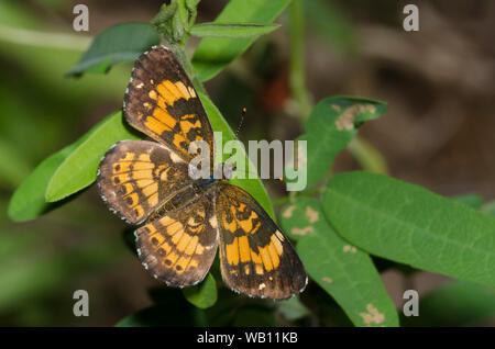 Silvery Checkerspot, Chlosyne nycteis - Stock Photo