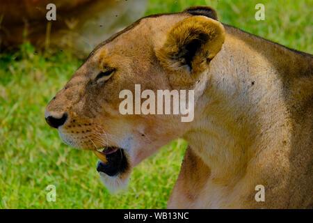 Female lion, Masai Mara, Africa - Stock Photo