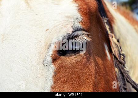 Close up of red -  brown horse eye with white fur on the forehead - Stock Photo