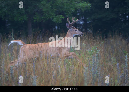 White-tailed deer buck running through the meadow early summer morning in Canada - Stock Photo