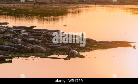 Dozens of Yacare caimans resting in the sun on the shore of a swamp in the brazilian Pantanal wetlands. - Stock Photo
